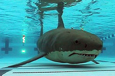 swimming pool sharks unearthing the spud